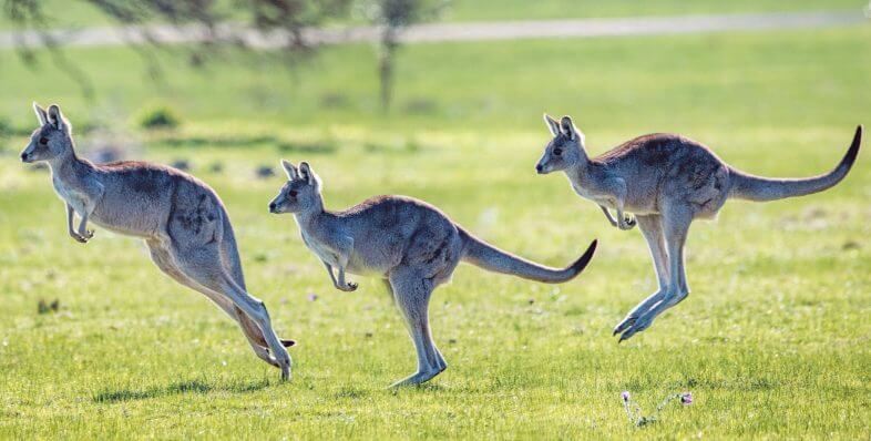 kangaroo land australia